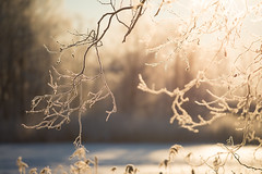 Golden branches (- David Olsson -) Tags: morning winter tree nature backlight sunrise landscape gold dawn golden early frozen nikon frost sweden outdoor branches january karlstad handheld backlit fx 70200 f4 vr januari d800 70200mm 2016 sjstad 70200vr qualitylight davidolsson