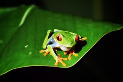 evolution at work (paddy_bb) Tags: travel costarica frog puravida 2016 nikond5300 paddybb
