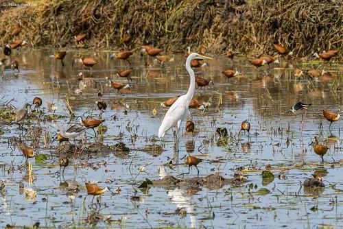 African Great Egret (Ardea alba melanorhyncha)