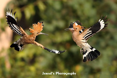 Dance in the Air (Jawad_Ahmad) Tags: pakistan nature beautiful beauty photography hoopoe flicker naturephotography naturelover sialkot jawads naturesphotography