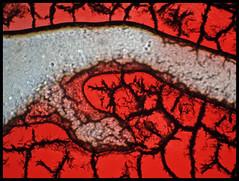 STERREICH . AUSTRIA . AUTRICHE (LitterART) Tags: selfportrait art austria sterreich blood arte kunst flag flagge staat microscopy autriche blut litterart