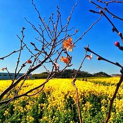 * 去年の今頃😸 今年もそろそろ菜の花かな😃🎵 This time last year 😸 Soon wonder if rape blossoms this year 😃🎵 * #Flowers #Flower #はな #floweroftheday #plants #naturelove #花 #Nature  #bestnatureshot #風景#綺麗 #眺め#Landscape