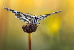 Schachbrettfalter (~Simmy~) Tags: summer white macro nature animal animals butterfly insect tiere nikon europa sommer natur butterflies blumen lepidoptera papillon moths makroaufnahme marbled falter makro insekt nahaufnahme stimmung tier insekten naturally schmetterlinge schmetterling morgens naturephotography skippers schwbischealb insecta makros morgenlicht schachbrett nymphalidae melanargiagalathea hexapoda pterygota marbledwhite satyrinae naturfotografie makroaufnahmen nahaufnahmen neoptera naturfoto schachbrettfalter demideuil melanargia galathea sigma150mm valverzasca d810 lichtstimmung schrfeverlauf tagfalter edelfalter magerrasen fluginsekten augenfalter tracheentiere tracheata damenbrett neufluegler lepidopteres naturundtiere schuppenfluegler sechsfuesser simonenoll