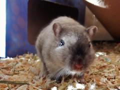 DSCN9783 Good Morning! (therovingeye) Tags: pets animals gerbil rodents gerbilhabitat