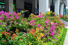 Colourful display (Roving I) Tags: flowers gardens decoration vietnam pots greenery blooms danang entrances governmentbuildings