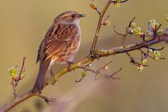 Dunnock (Deadpanhammer) Tags: nottingham bird nature attenborough dunnock attenboroughnaturereserve ef300mmf4lis canon7d