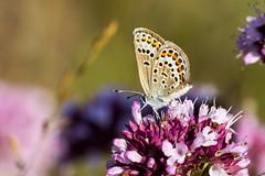 AT0A0159 (Ferdinand23) Tags: insectes papillons plebejusargus papillonsdejour lycenidea rhopalocredejour petitargusazurdelajoncplebejusargus