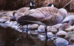 Guard duty IMG_7806.jpg (bnetty11) Tags: park lake water one geese spring pond rocks colorful wildlife leg idaho boise resting albertson