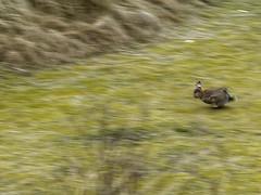 Watership Down 07 -Flucht_Web (berni.radke) Tags: moon rabbit bunny river mond hazel raft buck fluss apollo watershipdown kaninchen fiver photostory pitfall flos rammler cony seepferd falle lachmwe kehaar richardadams enborne wildkaninchen untenamfluss