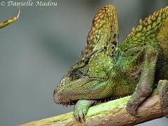 Chamaeleo calyptratus (Mayalma) Tags: zoo veiled cologne kameleon keulen chamaeleon calyptratus jemen chamaeleo