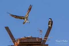 Male Osprey tosses grass toward its nest - Sequence - 13 of 19