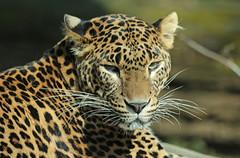 shrilankan panther Burgerszoo JN6A5803 (j.a.kok) Tags: leopard panther burgerszoo panter shrilankapanter shrilankanleopard shrilankanpanther