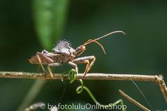 Argentinien_Insekten-77 (fotolulu2012) Tags: tierfoto