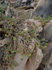 Tetragonia decumbens on limestone, Halls Head, Mandurah, WA, 25/03/16 (Russell Cumming) Tags: plant rock limestone westernaustralia mandurah aizoaceae tetragonia hallshead tetragoniadecumbens