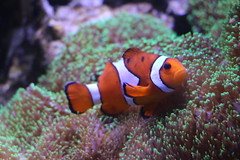 Clownfisch (ugreeb2002) Tags: sea fish nature topf25 water aquarium colorful wasser sealife colores fisch naturescenes clownfisch wonderfulworld fantasticnature voyagetravellingreise