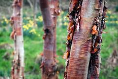 Peeling Bark (Photograferry) Tags: nature rural coast arboretum northumberland daffodills snowdrops manorhouse northofengland howickpark