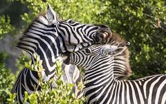 Zebra disagreement (Sheldrickfalls) Tags: southafrica zebra mpumalanga plainszebra burchellszebra lydenburg kuduranch kuduprivatenaturereserve kudugameranch
