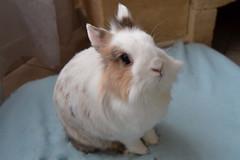 Fluffy (peachmarine) Tags: rabbit bunny dwarf selection extra lapin lionhead nain slection pinou ttedelion tetedelion