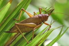 katydid sp. (Birdernaturalist) Tags: wings costarica tettigoniidae richhoyer miscinvert