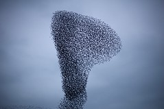 Murmuration (dilys_thompson) Tags: birds flock starlings murmuration anglesey