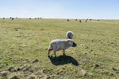 Sheep. (bgfotologue) Tags: uk travel england heritage archaeology monument architecture landscape photography photo worship europe sheep image god unitedkingdom britain outdoor nation stonehenge imaging polarizer wiltshire prehistoric    cpl  amesbury carlzeiss   2016  bgphoto           500px  tumblr  bellphoto