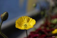 Joyeuses ftes de Pques  tous (Elyane11) Tags: jaune bouton coquelicots fabuleuseenftesp