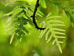 Hound's Tongue Fern (dt_images) Tags: fern green wellington epiphyte sori zealandia houndstonguefern microsorumpustulatumssppustulatum