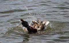 Bath Time (jmaxtours) Tags: toronto duck pond etobicoke mallard drake bathtime centennialpark torontoontario mallardduck etobicokeontario centennialpond centennialparketobicoke