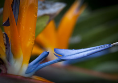 Refreshed in Paradise (Life_After_Death - Shannon Day) Tags: life flowers plant flower detail macro bird art water floral rain canon garden botanical photography eos death drops rainbow paradise day gardening petal shannon birdofparadise after dslr botany refreshing canondslr canoneos heavenly intricate refresh lifeafterdeath 50d shannonday canoneos50d eosdslr canoneos50ddslr lifeafterdeathstudios lifeafterdeathphotography shannondayphotography shannondaylifeafterdeath lifeafterdeathstudiosartandphotography shannondayartandphotography