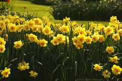 Unforgetable Keukenhof (Natali Antonovich) Tags: park flowers holland spring tradition keukenhof narcissuses unforgetablekeukenhof enamouredspring