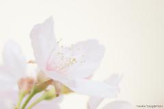 DSC_8488 (Frankie Tseng ()) Tags: park pink flowers sunset sky bw flower silhouette photography 50mm blackwhite nikon outdoor flash sunny tokina cherryblossoms fade nikkor 70300mm tamron 90mm f8 1224mm f28 f4 1870mm bwphotography blackwhitephotography portraitphotography outdoorportrait sb900 yongnuo outdoorportraitphotography yn568