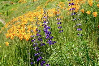 Poppies & Lupines