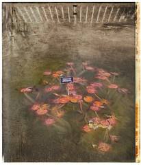 Water Lillies (veyoung52) Tags: pink flowers blue red painterly abstract water pool garden lily nik lillies analogue brooklynbotanicgarden waterlillies topaz niksoftware textureeffects topazimpressions