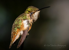 Itchy (cbjphoto) Tags: bird photography hummingbird allens avian selasphorussasin carljackson