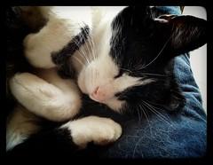 Action cat! (Snappergus) Tags: white black relax sleep pussy s sleepy tuxedo tux puss hc snoring mog moggy blackandwhitecat