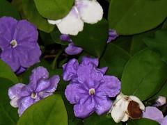 Brunsfelsia (dog.happy.art) Tags: flowers plant flower garden purple bloom flowering blooms shrub blooming brunsfelsia