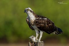 osprey (Pandion haliaetus) (mutantpraveen) Tags: osprey fisheagle fishhawk seahawk riverhawk