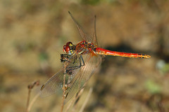 2015_IMG_0607 (niek haak) Tags: dragonflies dragonfly odonata libel sympetrumfonscolombii zwervendeheidelibel