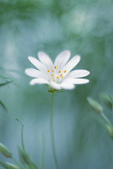 Stellaria (ElenAndreeva) Tags: flowers summer sun flower color macro green nature colors beautiful forest canon garden spring amazing focus colorful soft stellaria