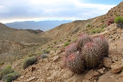 Pink Berrel Cactus overviewing Nelson Range (daveynin) Tags: cactus mountains cacti death flora nps wilderness spines vallety pinkberrelcactus