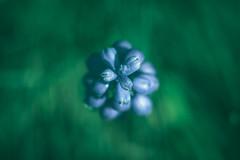 Open Up! (Joe Effendi) Tags: color nature flora dof outdoor depthoffield 55mm m42 bloom fujinon effendi fujinonebc55mmf18 fujifilmxe1