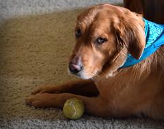 Guilty Look (Photato Jonez) Tags: dog color alex colors ball golden nikon day olive indoor retriever tennis guilty d3300