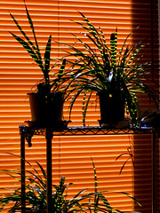 striped (matsugoro) Tags: plant digital pen 50mm olympus myroom zuiko striped epl2