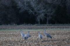 29. Sandhill cranes (Misty Garrick) Tags: nebraska crane migration alda sandhill sandhillcranes sandhillcrane aldane