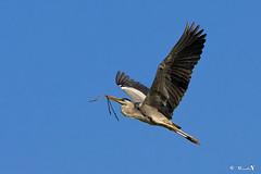Grey Heron (manojmcn) Tags: birds fauna nikon singapore ardeacinerea greyheron travelphotography birdphotography nikon70300vr birsinflight nikond7100