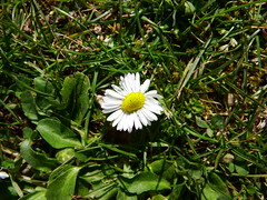 Flower in Boboli Garden (AmikLanfranco) Tags: italy brown white cute green nature beautiful grass leaves yellow wonderful garden florence petals europe pretty little small adorable mini palace soil tiny tuscany stamen firenze pollen toscana palazzo pitti boboli giardino miniscule