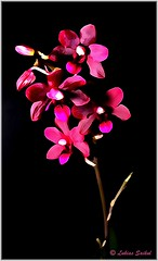 Orchids VI (lukiassaikul) Tags: flowers flora orchids digitalpainting indoorplants macrophotography photopainting creativephotography indoorflowers paintingfromphoto miniatureorchids