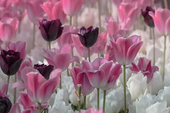 Pink dreams (s_gulfidan) Tags: pink white tulips 300faves platinumheartaward flowerarebeautiful saariysqualitypictures thebestofmimamorsgroups