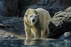 Getting her toes wet (ucumari photography) Tags: bear animal mammal zoo oso nc north polarbear carolina april anana eisbr ursusmaritimus oursblanc 2016 osopolar ourspolaire orsopolare specanimal dsc8779 ucumariphotography sbjrn