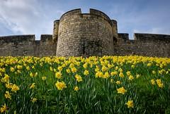 York - Castle Daffodils (Hector Patrick) Tags: york castles yorkshire newspapers medieval daffodils historicbuildings yorkshirepost flickrelite jewbury scenicsnotjustlandscapes fujifilmx70 lightroom65